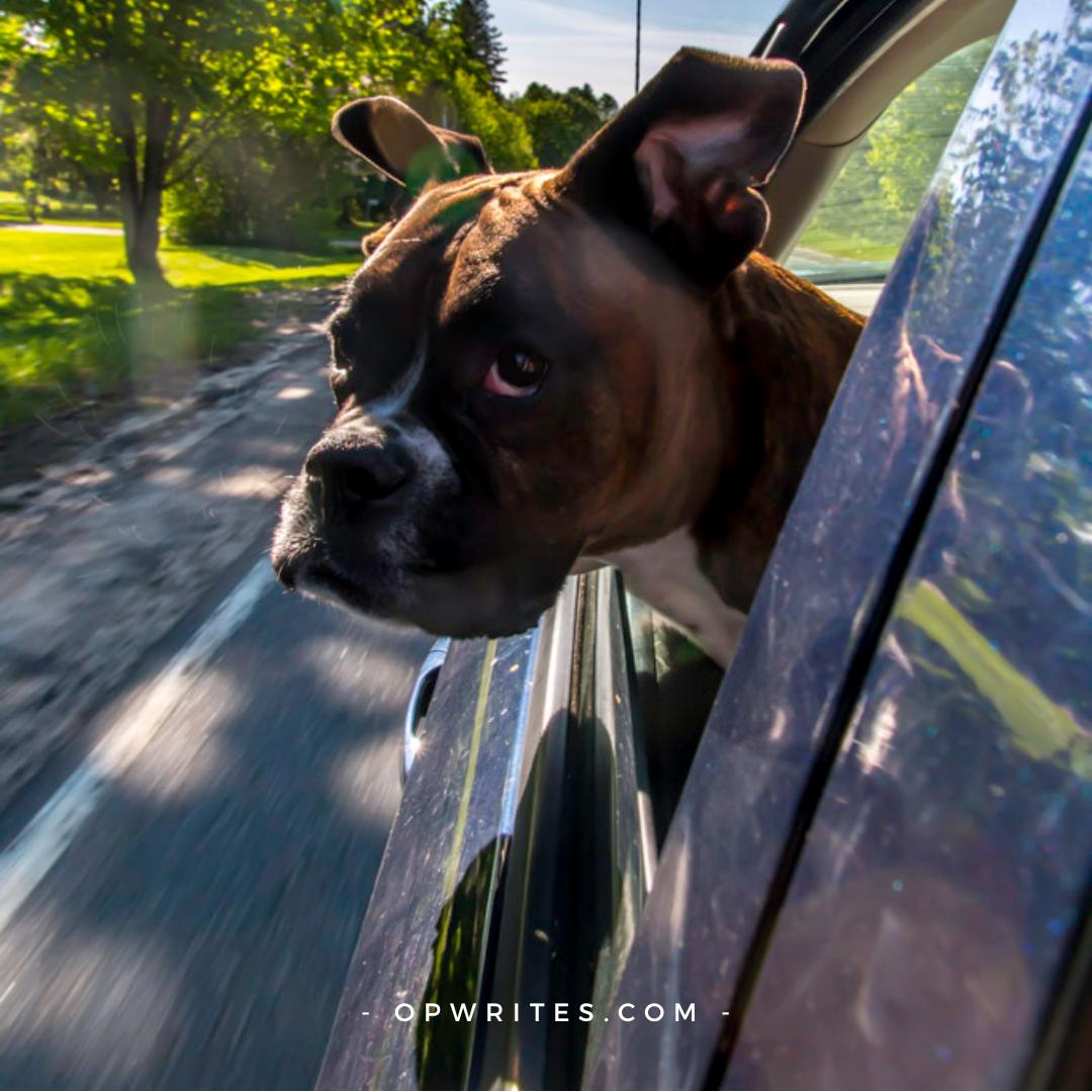 Dog's head out car window